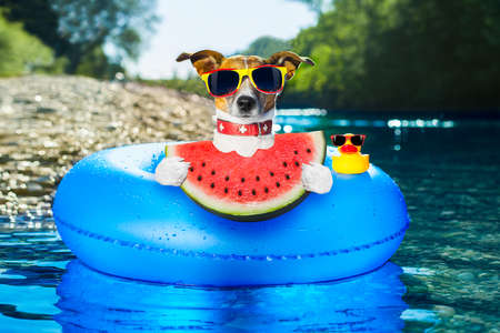 air animals: dog on  blue air mattress  in water refreshing eating a fresh watermelon , on summer vacation holidays, at the river shore close to the woods Stock Photo