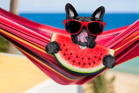 french fancy: french bulldog dog relaxing on a fancy red  hammock  with red sunglasses, on summer vacation holidays at the beach, eating a fresh juicy watermelon
