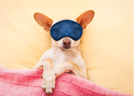 chihuahua dog  with  headache and hangover sleeping in bed like a baby dreaming sweet dreams, wearing eye mask