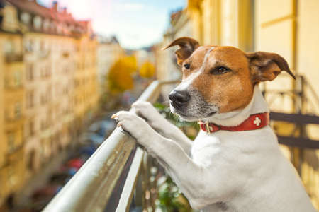 nosey: nosy watching jack russell dog form top of balcony thinking about past and future or day dreaming Stock Photo