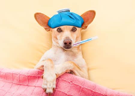 krank krank Hund ruht und im Bett, Kopfschmerzen oder Fieber, Thermometer in den Mund und Eisbeutel auf dem Kopf erholt