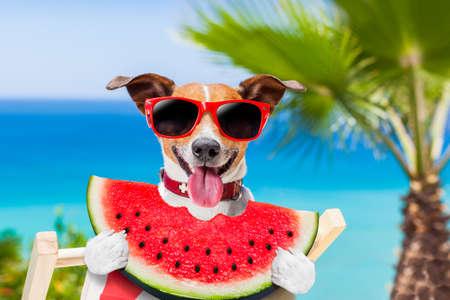 perro Jack Russell en la hamaca en la playa de relax en vacaciones de las vacaciones de verano, comiendo una jugosa sandía fresca