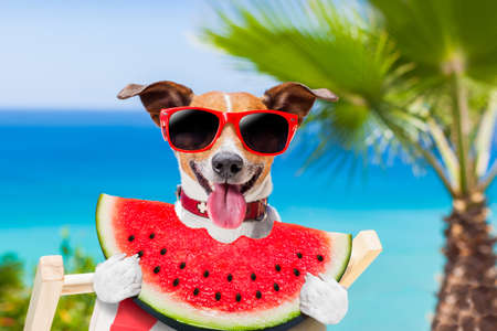 jack russell dog  on hammock at the beach relaxing  on summer vacation holidays,  eating a fresh juicy watermelon