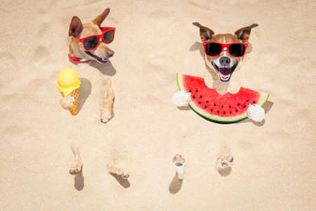 funny couple of dogs   buried in the sand at the beach on summer vacation holidays ,  wearing red sunglasses, eating a fresh juicy watermelon and ice cream on cone waffle
