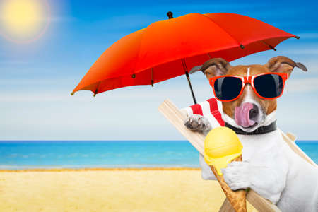 jack russell dog eating ice cream on a cone waffle on a beach chair or hammock with sunglasses on summer  vacation holidays Stock Photo
