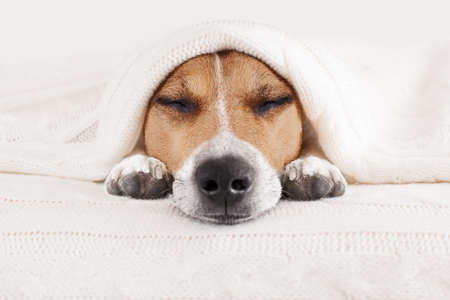 Jack-Russell-Hund das Schlafzimmer, krank oder müde unter der Decke im Bett schlafen, Blatt den größten Teil der Fläche bedeckt, die Augen geschlossen Standard-Bild