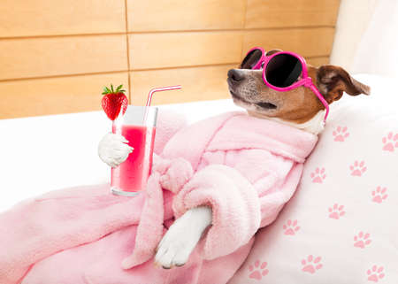 grooming: jack russell dog relaxing  and lying, in   spa wellness center ,getting a facial treatment with  moisturizing cream mask and cucumber, drinking a cocktail milkshake smoothie Stock Photo