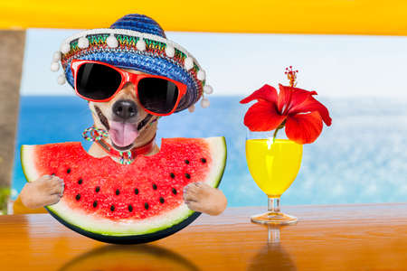 funny chihuahua  dog drinking cocktail at the bar in a  beach club party with ocean view on summer vacation holidays, eating a fresh juicy watermelon