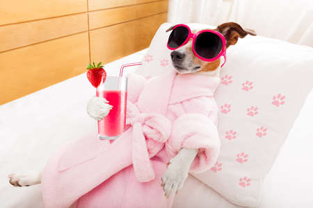 dream body: jack russell dog relaxing  and lying, in   spa wellness center ,getting a facial treatment with  moisturizing cream mask and cucumber, drinking a cocktail milkshake smoothie Stock Photo