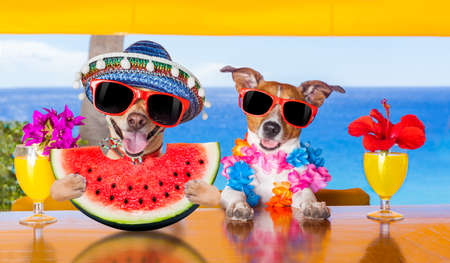 happy holidays: funny couple of dogs drinking cocktail at the bar in a  beach club party with ocean view on summer vacation holidays, eating a fresh juicy watermelon Stock Photo