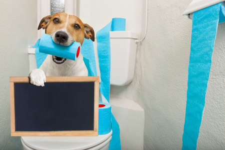 publishes: jack russell terrier, sitting on a toilet seat with digestion problems or constipation holding a banner or placard blackboard Stock Photo