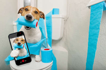 photo: jack russell terrier, sitting on a toilet seat with digestion problems or constipation taking a selfie