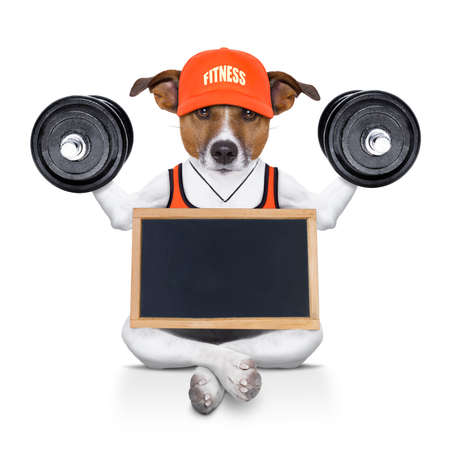 jack of clubs: fitness jack russell dog lifting a heavy big dumbbell, as personal trainer , isolated on white background with banner and placard Stock Photo
