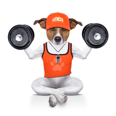 strong: fitness jack russell dog lifting a heavy big dumbbell, as personal trainer , isolated on white background