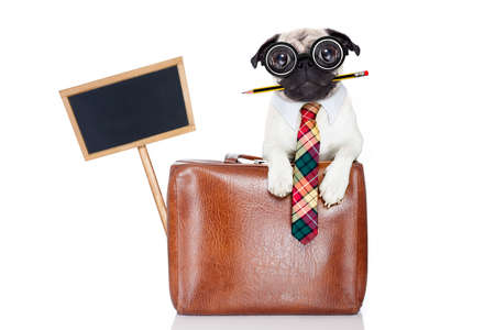 office worker businessman pug dog  as  boss and chef , with suitcase or bag  as a secretary, pencil in mouth wearing a suit and tie , isolated on white background Stock Photo