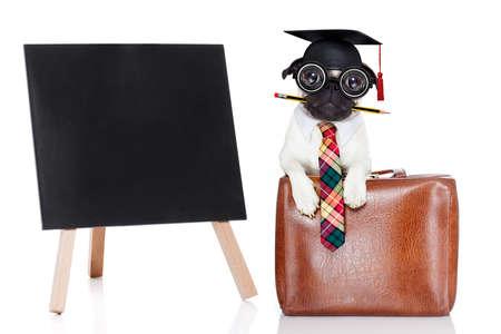 educadores: trabajador de oficina hombre de negocios perro pug como jefe y jefe de cocina, con la maleta o bolsa como secretaria, lápiz en la boca con un traje y corbata, aislado sobre fondo blanco bandera junto