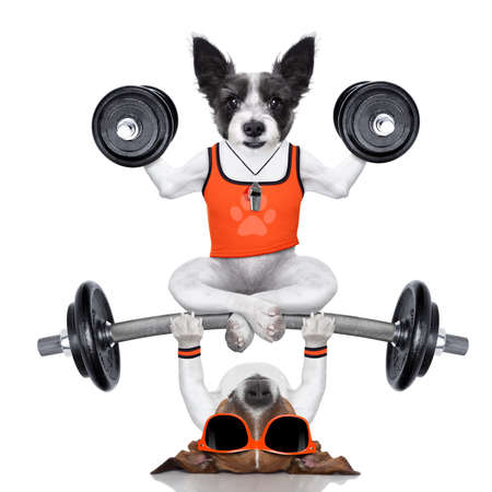 humour: fitness jack russell dog lifting a heavy big dumbbell, as personal trainer , isolated on white background