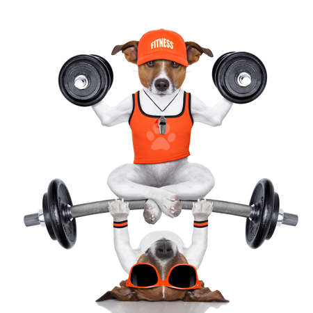 healthy body: fitness jack russell dog lifting a heavy big dumbbell, as personal trainer , isolated on white background