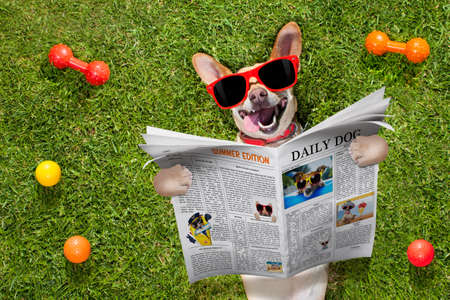 chihuahua    dog  reading a magazine or newspaper lying on the grass in park , relaxing and resting with sunglasses