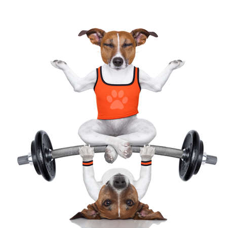 fitness jack russell dog lifting a heavy big dumbbell with a yoga pet, as personal trainer , isolated on white background