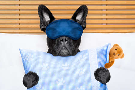 close together: french bulldog dog  with  headache and hangover sleeping in bed, with teddy bear close together Stock Photo