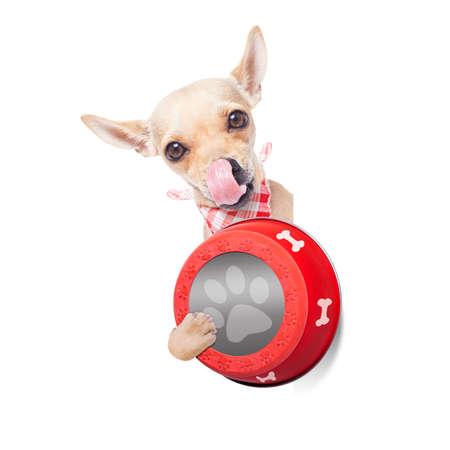 paciencia: chihuahua perro hambriento que sostiene el plato de comida y lamer con la lengua, aislado en fondo blanco