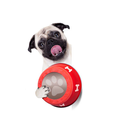 hungry  pug  dog holding food bowl and licking with tongue, isolated on white background