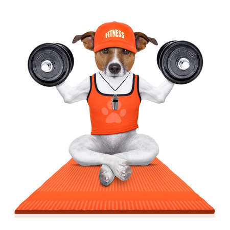 humour: fitness jack russell dog lifting a heavy big dumbbell, as personal trainer ,on a sport mat,  isolated on white background