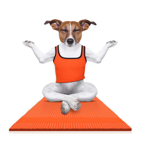 jack of clubs: fitness jack russell dog relaxing with yoga , as personal trainer on sport  mat , isolated on white background