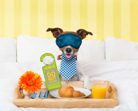 luxury room: jack russell dog in hotel  having room service with do not disturb sigh  in paw with breakfast in bed , eyes covered by an eye mask
