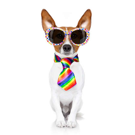 gay parade: crazy funny gay dog proud of human rights ,sitting and waiting, with rainbow flag and sunglasses, isolated on white background