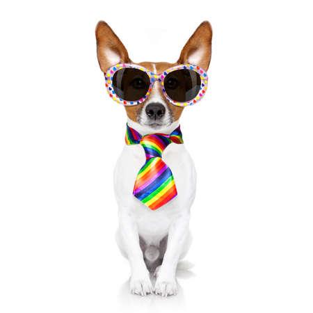 sexualidad: Perro loco orgullo gay divertida de los derechos humanos, sentarse y esperar, con la bandera del arco iris y gafas de sol, aislado en fondo blanco