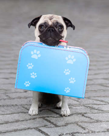 come home: pug dog abandoned and left all alone on the road or street, with luggage bag  , begging to come home to owners Stock Photo