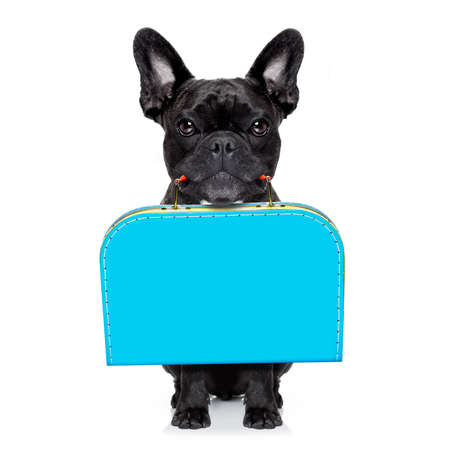 white: french bulldog dog abandoned and left all alone on the road or street, with luggage bag  , begging to come home to owners, isolated on white background Stock Photo