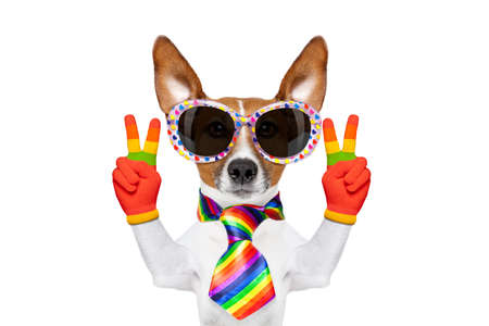 gay parade: crazy funny gay dog proud of human rights , with rainbow flag and sunglasses, isolated on white background Stock Photo