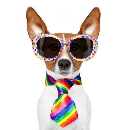 crazy funny gay dog proud of human rights , with rainbow flag and sunglasses, isolated on white background Stock Photo