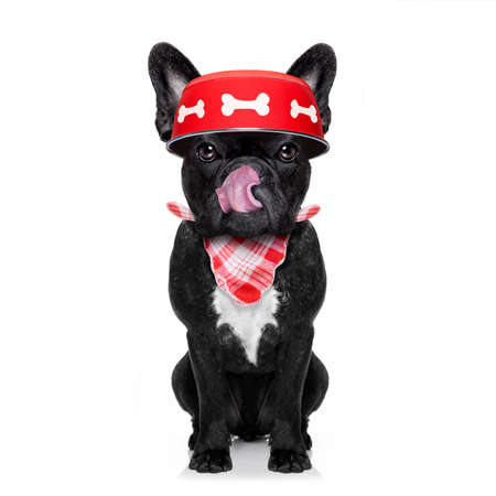 hungry  french bulldog  dog holding food bowl and licking with tongue, isolated on white background