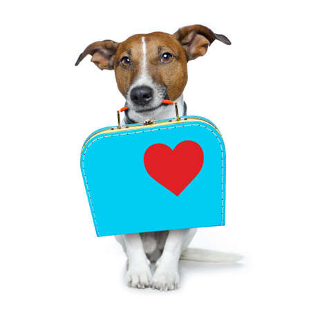 road of love: jack russell dog abandoned and left all alone on the road or street, with luggage bag  , begging to come home to owners, isolated on white background Stock Photo