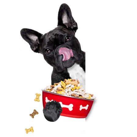 licking tongue: hungry  french bulldog  dog holding food bowl and licking with tongue, isolated on white background