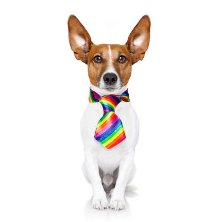 gay parade: crazy funny gay dog proud of human rights ,sitting and waiting, with rainbow flag , isolated on white background Stock Photo