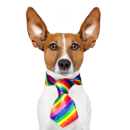 white: crazy funny gay dog proud of human rights , with rainbow flag , isolated on white background Stock Photo