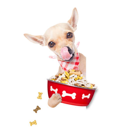 placard: hungry  chihuahua dog holding food bowl and licking with tongue, isolated on white background