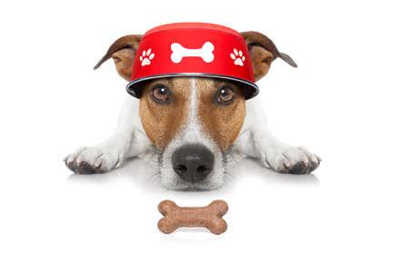 paciencia: Hungry Jack Russell perro con el plato de comida en la planta baja, aislado en fondo blanco