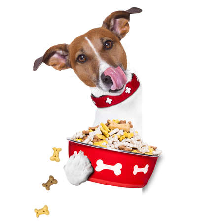 licking in isolated: hungry  jack russell  dog holding food bowl and licking with tongue, isolated on white background