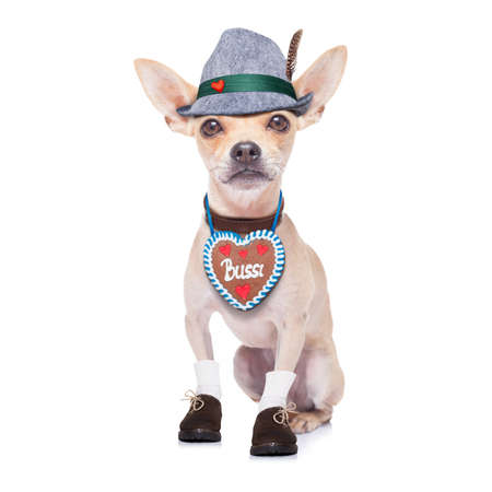 beerfest: bavarian german chihuahua  dog with  gingergread and hat,  isolated on white background , ready for the beer celebration festival in munich Stock Photo