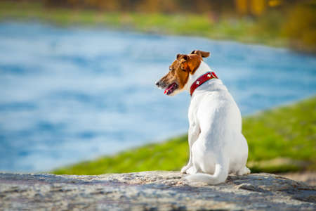 Jack russell dog missing and thinking about the past and future outdoors , watching the horizon