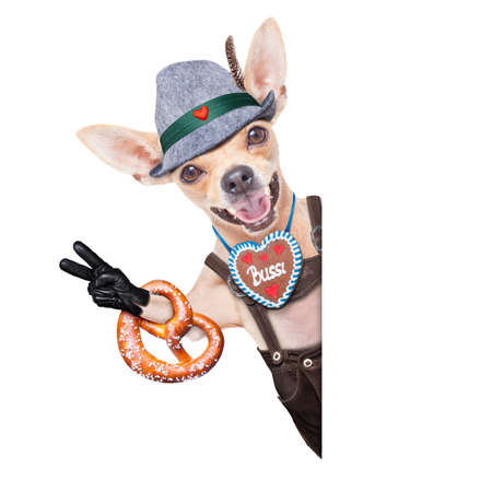 lederhose: bavarian german chihuahua  dog with  gingerbread and pretzel, isolated on white background , ready for the beer celebration festival in munich