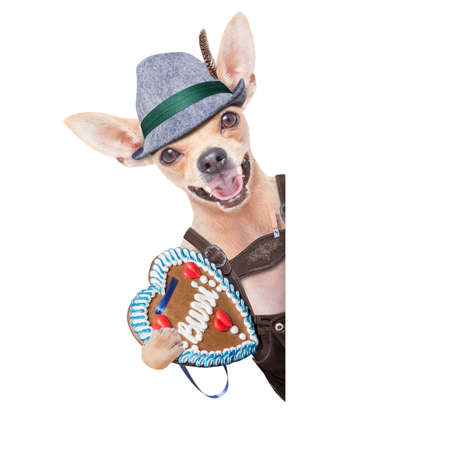 traditional: bavarian german chihuahua  dog with  gingerbread and hat, isolated on white background , ready for the beer celebration festival in munich