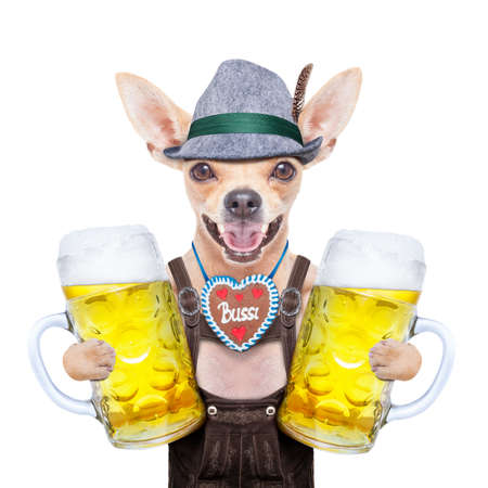 beerfest: bavarian german chihuahua  dog with  gingerbread and beer mug, isolated on white background , ready for the beer celebration festival in munich
