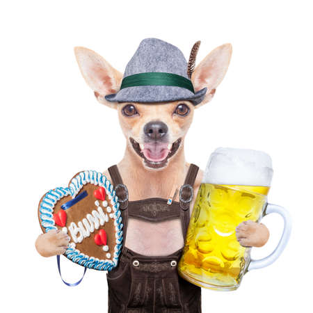 beerfest: bavarian german chihuahua  dog with  gingergread and beer  mug,  isolated on white background , ready for the beer celebration festival in munich